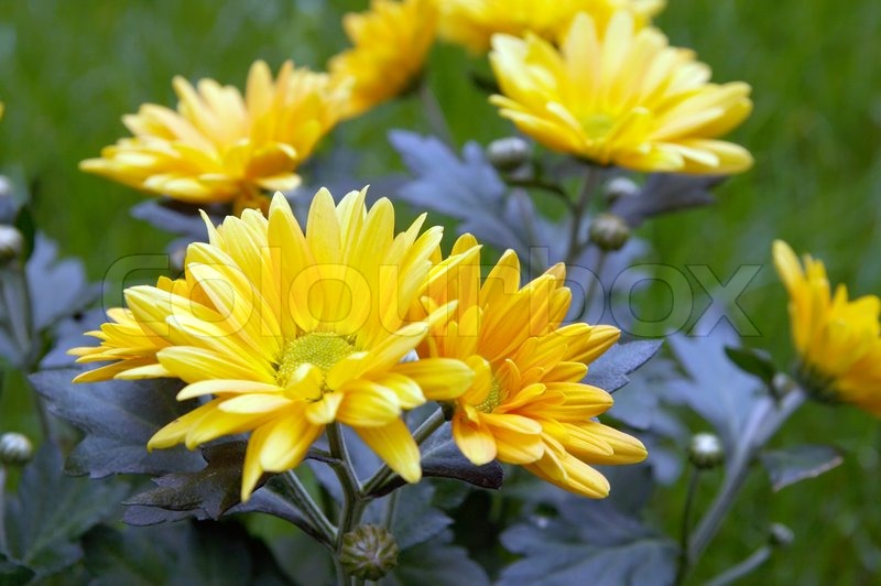 Yellow chrysanthemum flower on green grass stock photo colourbox mightylinksfo