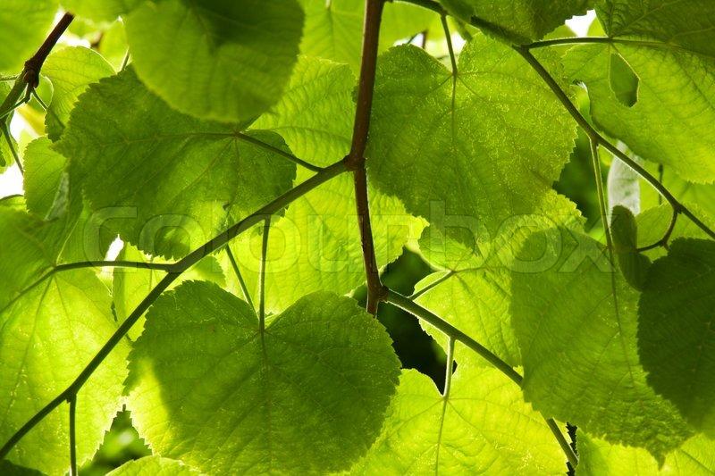 Parken Auf Grünfläche Lime Baum Blätter Stock Foto Colourbox