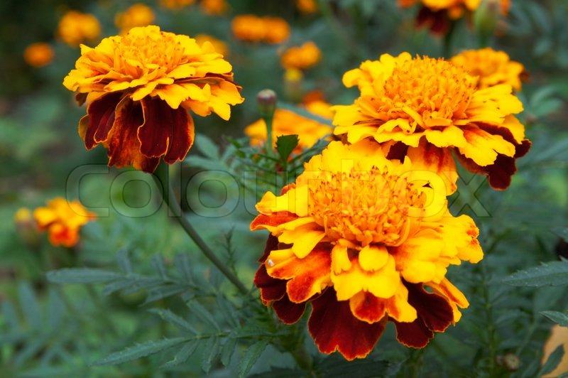 Blume des gelborange Ringelblumen im Garten  Stockfoto