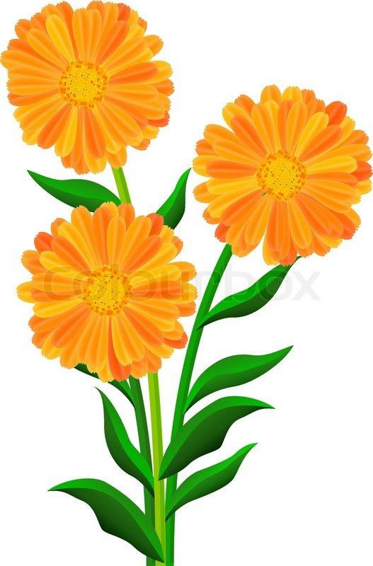 Orange Blumen isoliert auf den weißen | Vektorgrafik | Colourbox