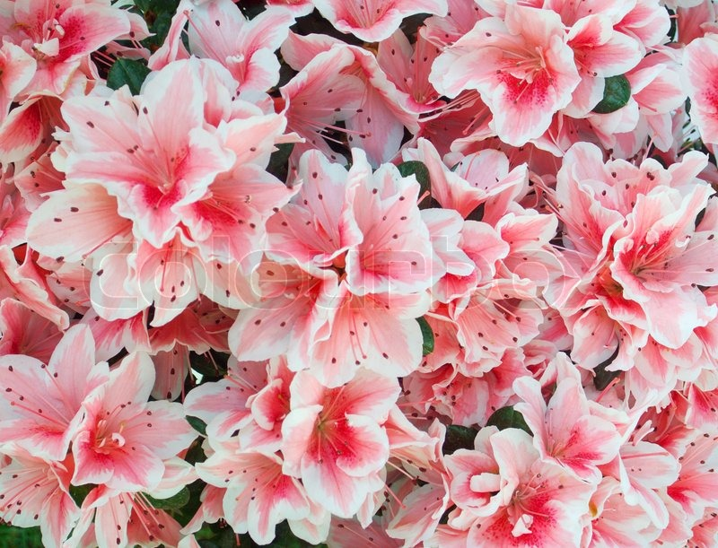 Azalea pink flowers holiday background stock photo colourbox mightylinksfo