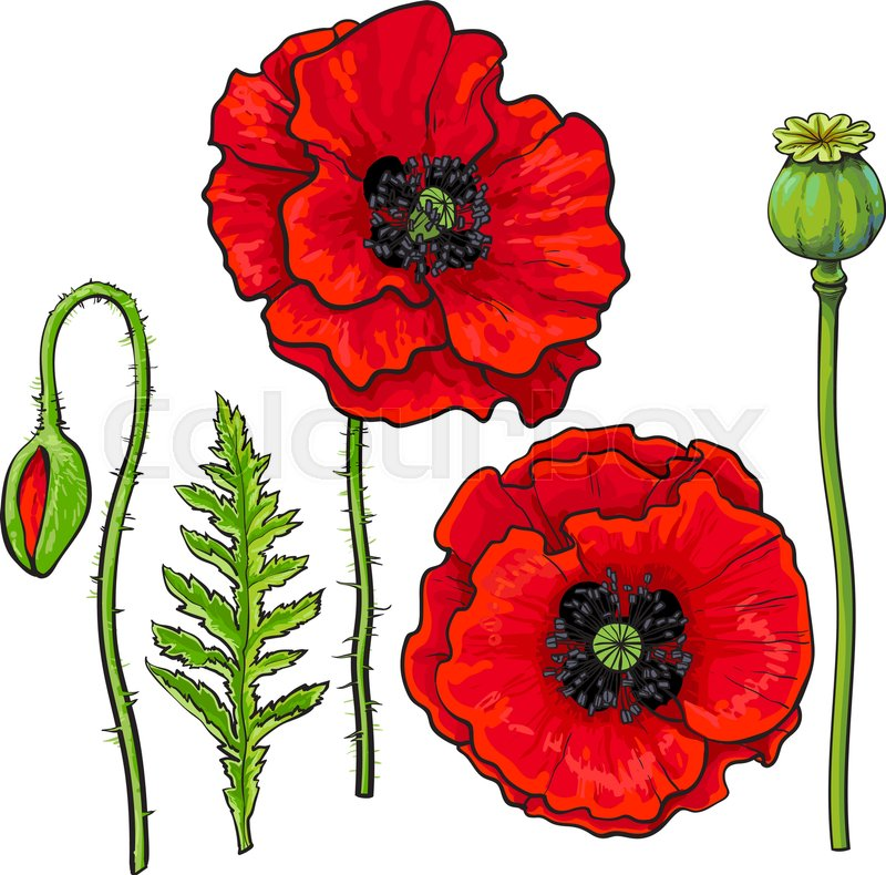 Hand drawn set of side and top view red poppy flower bud pod leaf hand drawn set of side and top view red poppy flower bud pod leaf sketch vector illustration isolated on white background realistic hand drawing of red mightylinksfo Gallery