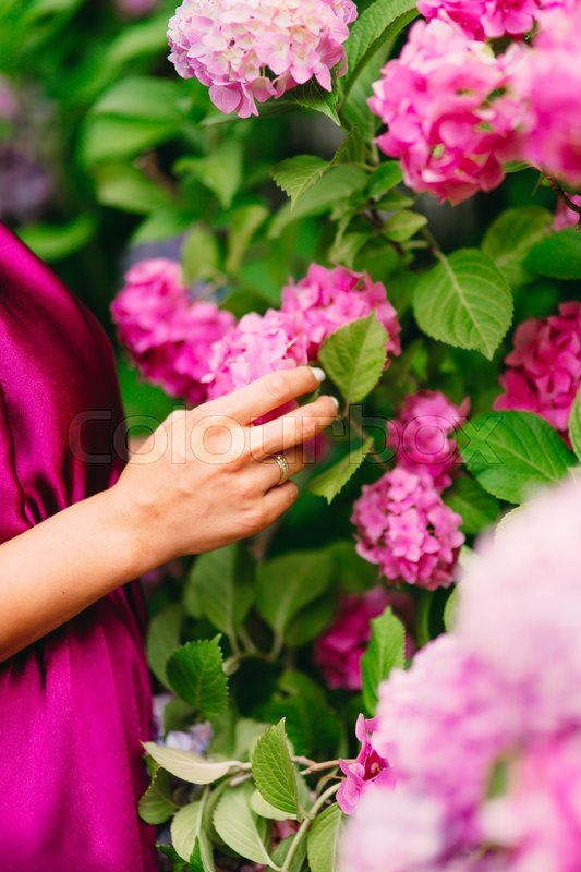 Pink flowers hydrangeas in female hands. Large hydrangea bushes in the city of Perast, in Montenegro, stock photo