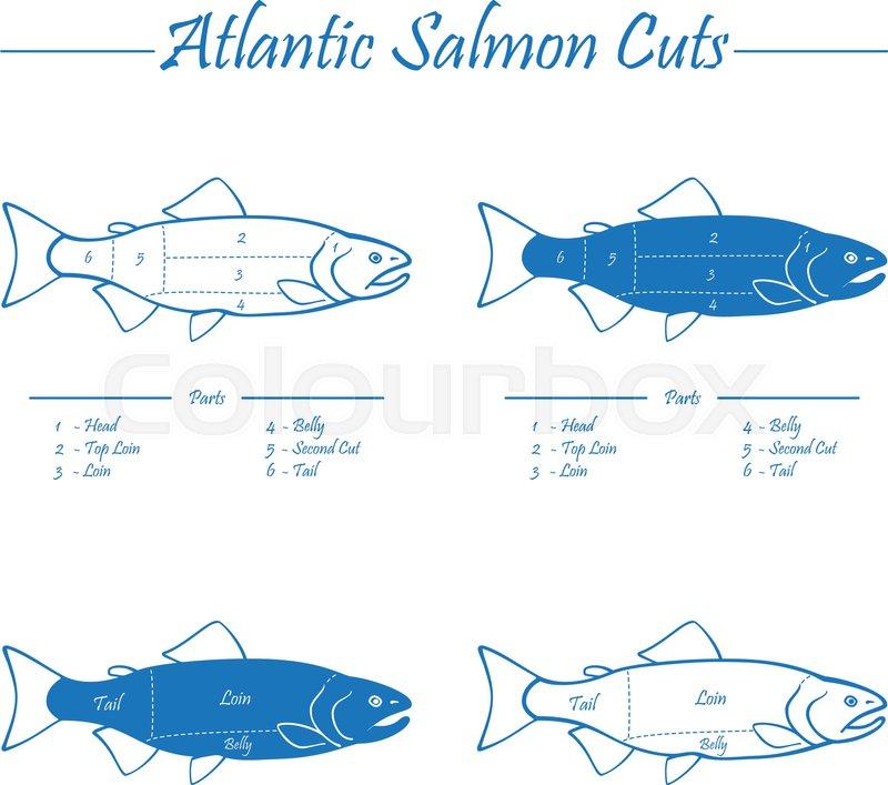 stock vector of 'norwegian atlantic salmon cutting diagram illustration,  blue on white'