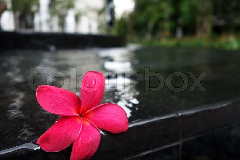 Stock image of 'Frangipani flowers on the swimming pool side'