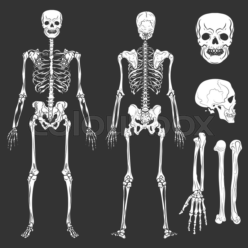 Human Body Skeleton Bones And Joints Vector Isolated Flat Icons Of