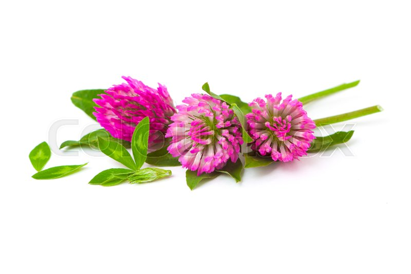 Flowers Of A Purple Clover On A White Stock Photo Colourbox