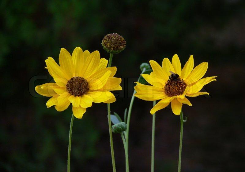 Two yellow flowers on the dark background stock photo colourbox mightylinksfo