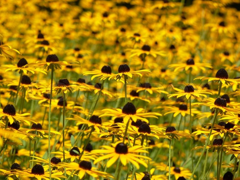 Sunny meadow of many little yellow flowers stock photo colourbox mightylinksfo