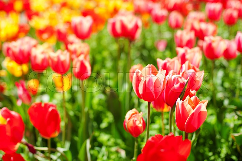 Colorful tulip flower, Tulip flower and green leaves background with sunlight. Beautiful tulip flower in the garden at sunny summer or spring day, stock photo