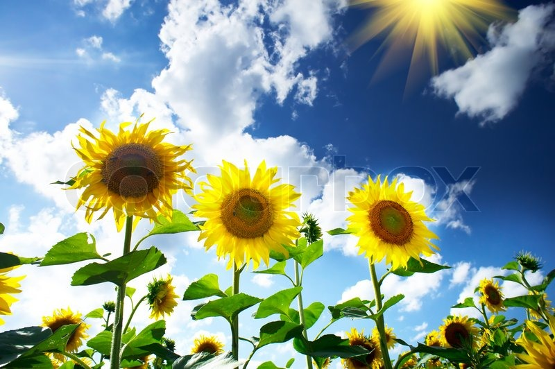Stock image of fun sunflowersby summertime