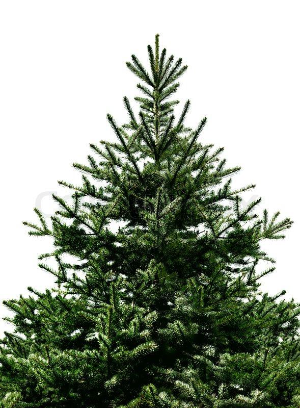 tannenbaum zu weihnachten nicht geschm ckt auf wei em ohne schatten isoliert stockfoto. Black Bedroom Furniture Sets. Home Design Ideas