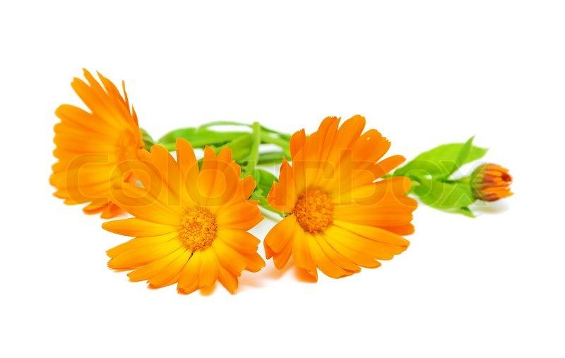 Calendula Blume auf einem weißen Hintergrund | Stockfoto | Colourbox
