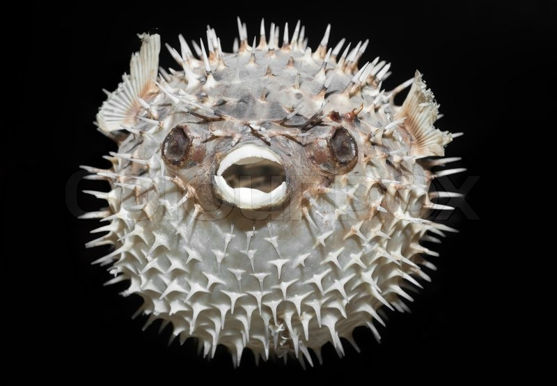 Long Spine Porcupinefish Diodon Holocanthus A Spikey
