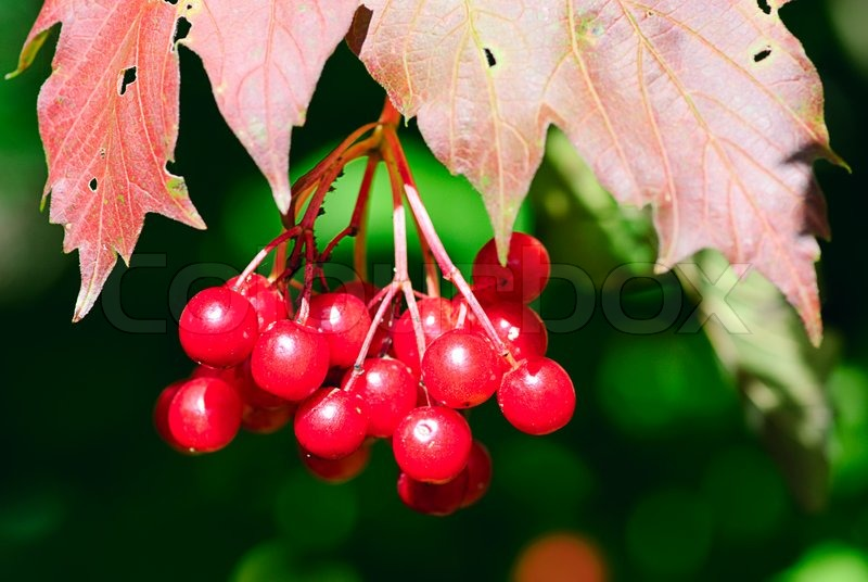 viburnum strauch fragment mit roten beeren stockfoto. Black Bedroom Furniture Sets. Home Design Ideas