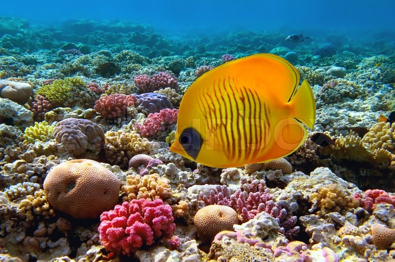 Masked falterfische chaetodon semilarvatus und for Red sea fish