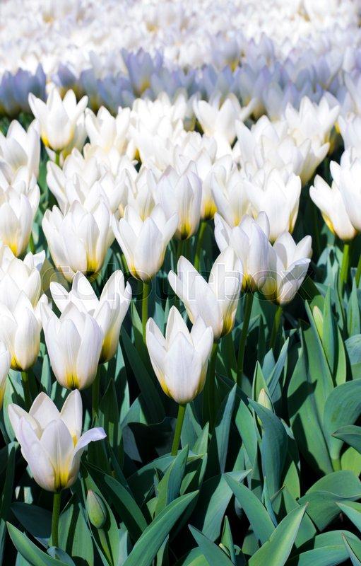 White tulips. Beautiful white tulips flowerbed closeup. Flower background, stock photo