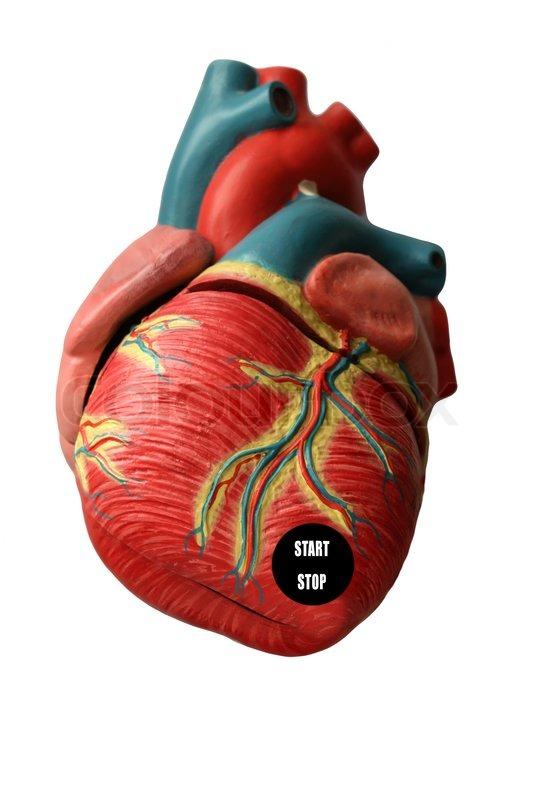 hjerte anatomi