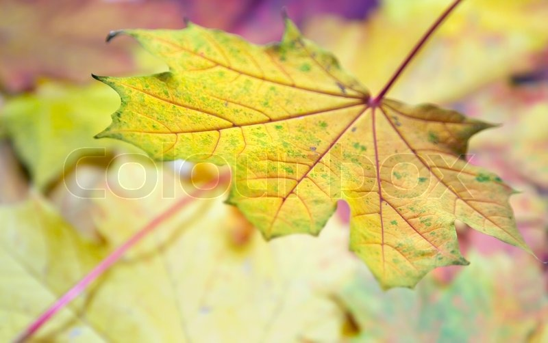 Pink-yellow colorful autumn maple leaf background, stock photo