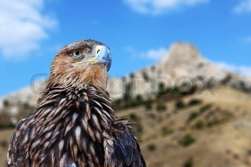Golden eagle over mountains, stock photo