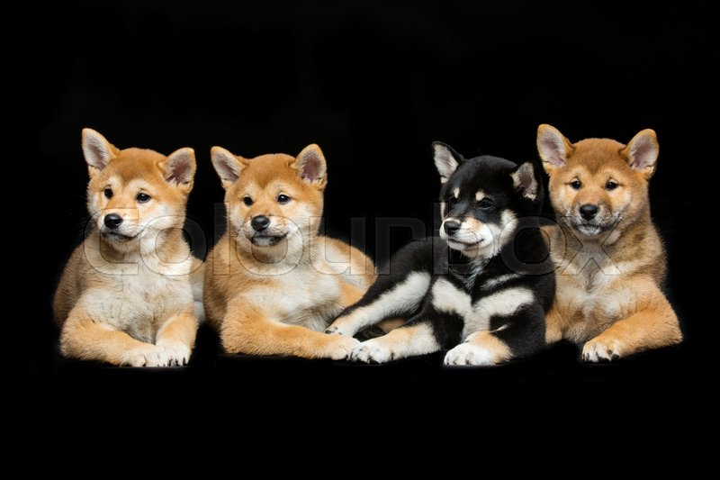 Four Beautiful Brown And Black Japanese Shiba Inu Puppy