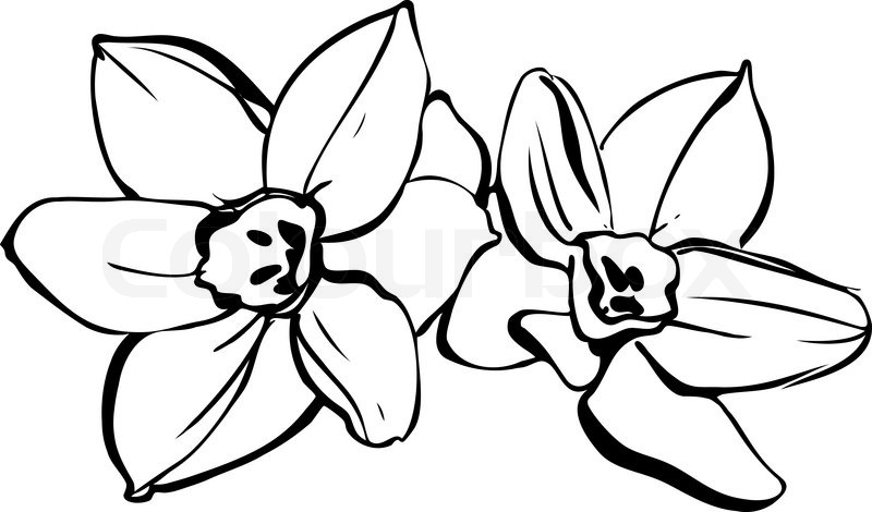 A couple of daffodils on white background | Stock Vector ...