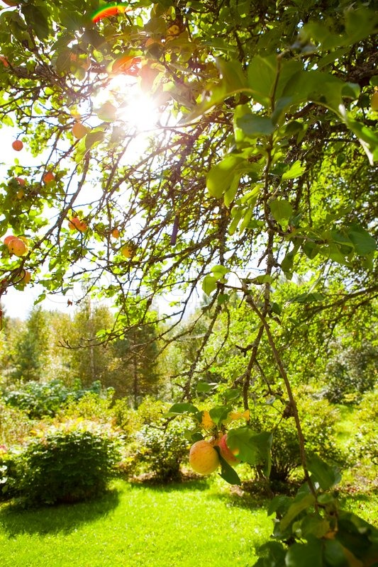 Stock image of 'Apple tree in a garden with sunlight coming through the leaves'