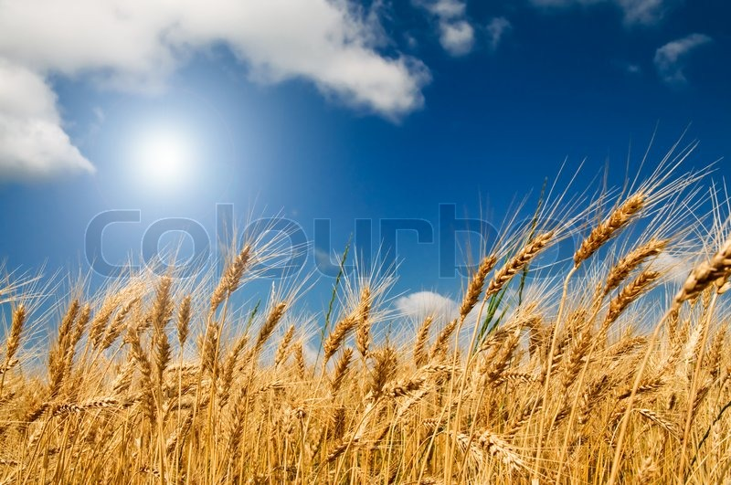 Stock image of 'Summer view of ripe wheat'