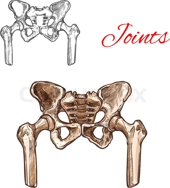Human Pelvis Bones And Sacrum Joints Vector Sketch Body Anatomy Icon
