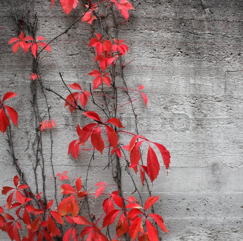 Red Climbing Plant On Grey Concrete Stone Wall Background Stock