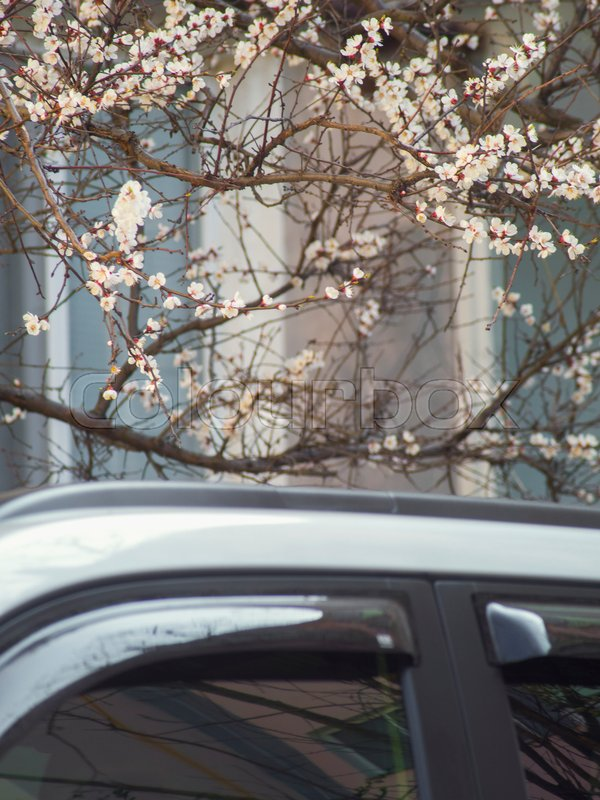 Branches Of The Flowering Fruit Tree Above Car Roof Stock Photo