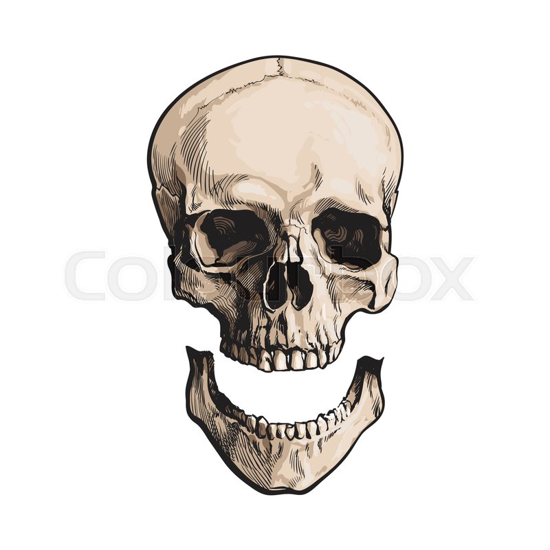 Hand Drawn Human Skull Anatomical Model With Separated Lower Jaw