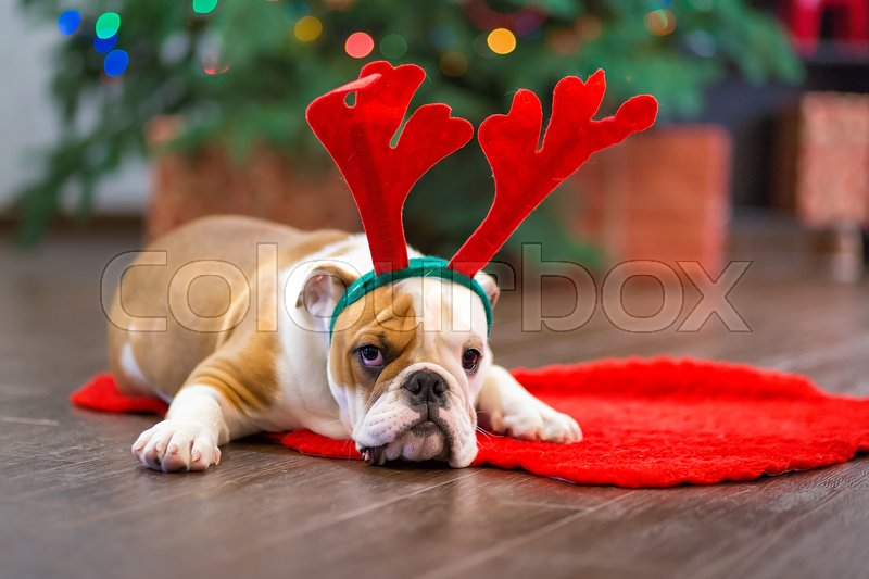 Cute puppy english bulldog with deer head cornuted on red carpet close to Christmas tree with xmas toys, stock photo