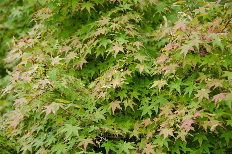 japansk ahorn acer palmatum blade viser de f rste tegn af r d farve i efter ret baggrund. Black Bedroom Furniture Sets. Home Design Ideas