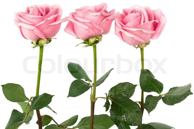 sch ne drei rosen auf einem wei en hintergrund stockfoto colourbox. Black Bedroom Furniture Sets. Home Design Ideas