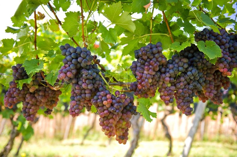 Purple red grapes on the vine with green leaves, stock photo
