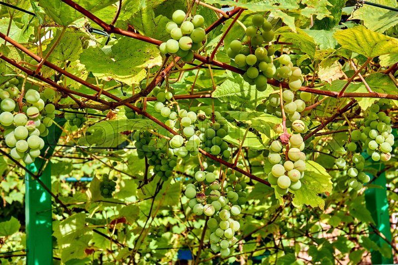 Bunch of white grapes in garden. ripening grape clusters on the vine, stock photo