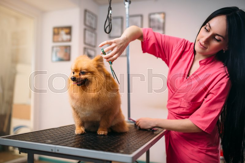 Pet groomer with scissors makes grooming dog. Professional groom and hairstyle for domestic animals, stock photo