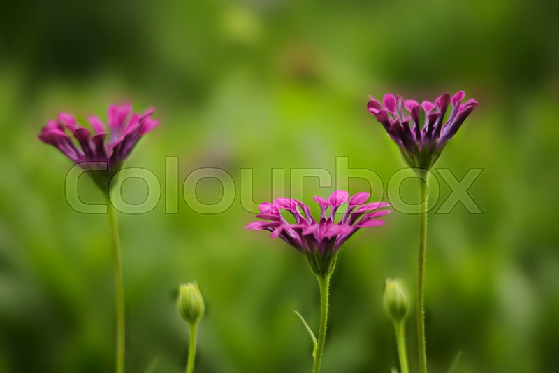 Delicate magenta flower petals curled up at dusk. Shallow dof with bokeh blur, stock photo