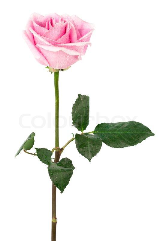 Einzelne Rosa Rose Auf Wei 223 Em Hintergrund Stockfoto