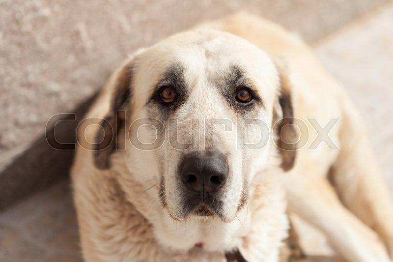 Big white dog lying down looking at camera, stock photo