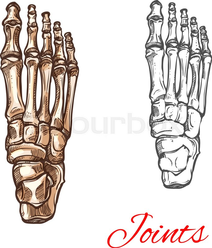 Human foot bones and joints skeleton vector sketch body anatomy icon ...