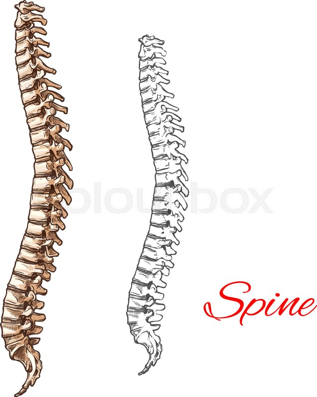Human Spine Bones And Backbone Joints Vector Sketch Body Anatomy