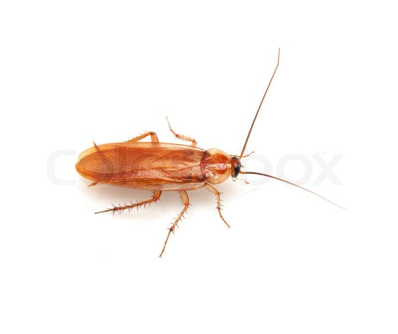 Kakerlake auf wei em hintergrund stock foto colourbox for Fliegen in blumenerde vernichten