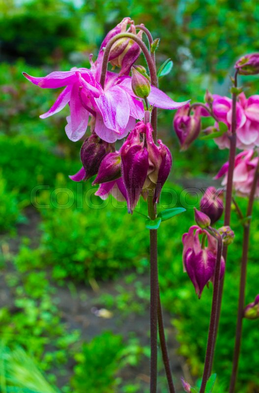 Columbine Flower on green background. columbine flower. Purple Columbine Flower, stock photo