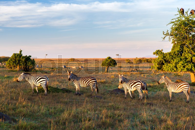 Animal, nature and wildlife concept - zebras herd grazing in maasai mara national reserve savannah at africa, stock photo