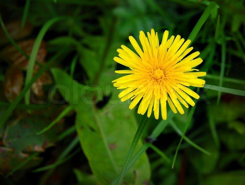 gule blomster i græsplænen