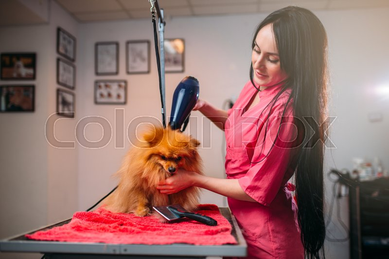 Pet groomer with a hair dryer, dog washing in grooming salon. Professional groom and hairstyle for domestic animals, stock photo