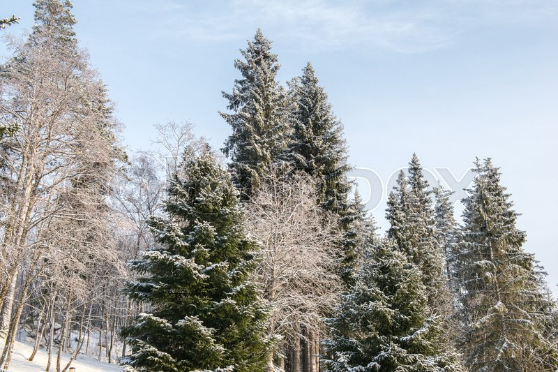 Nature in winter. Winter forest landscape with snow in cold weather Karelia, Russia, stock photo