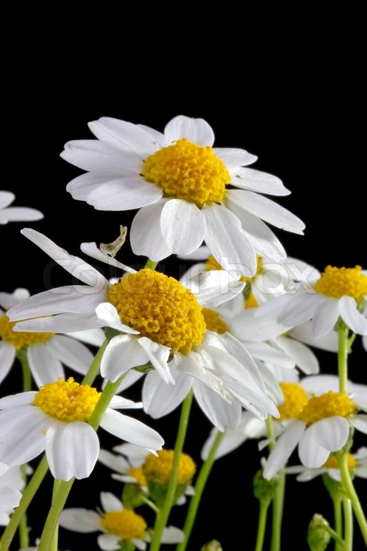 White daisy flower isolated on a black background | Stock ...